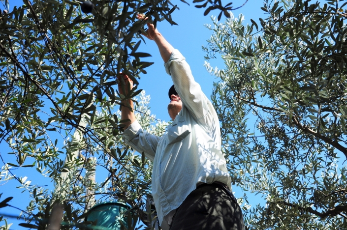 traditional olive picking