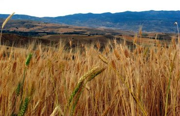 Turkey's Wheat Exports Decline Due To Climate Change, Says Industry Official