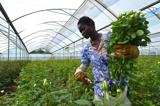 african farmer in a greenhouse