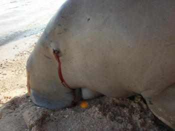 Dead Dugong in Egypt by  HEPCA