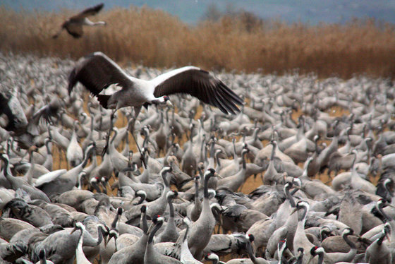 Dramatic Bird Migration on View at Israel's Hula Valley