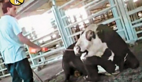 cow in israeli meat industry abuse