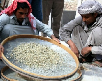 egyptian sifting wheat