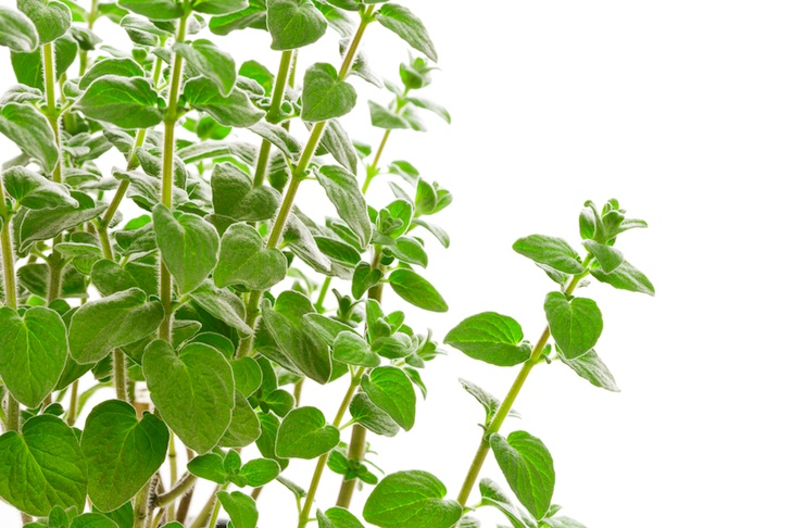 Simple Oregano Keeps Chickens Disease Free