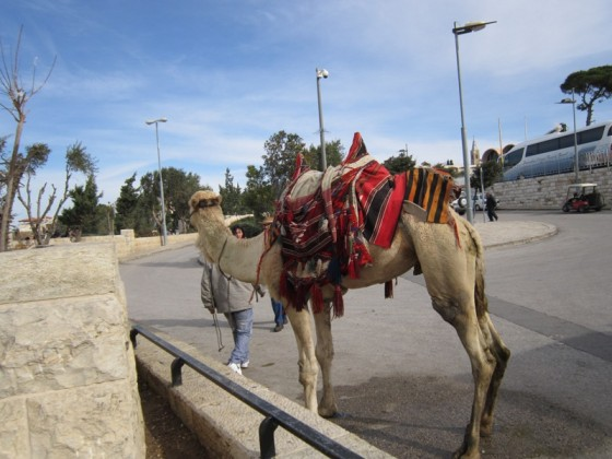 jerusalem camel in israel