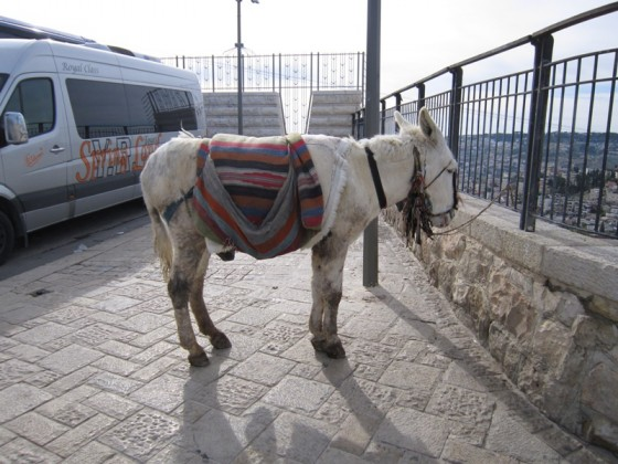 jerusalem white donkey ass