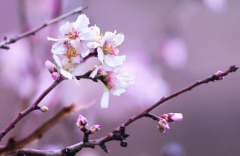 almond tree blossoms in israel