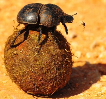 scarab beetle rolling ball of dung