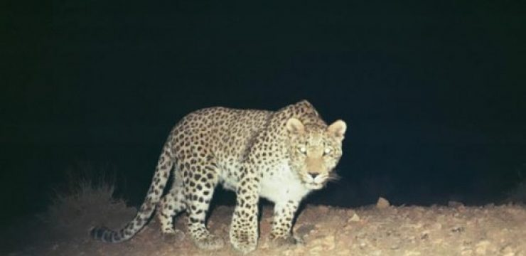 Irans-Oldest-Leopard.jpg