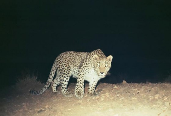 wildlife conservation, leopards, big cats, Iran, Persian leopard, threatened park, Bafq Protected Area, Yazd Province,