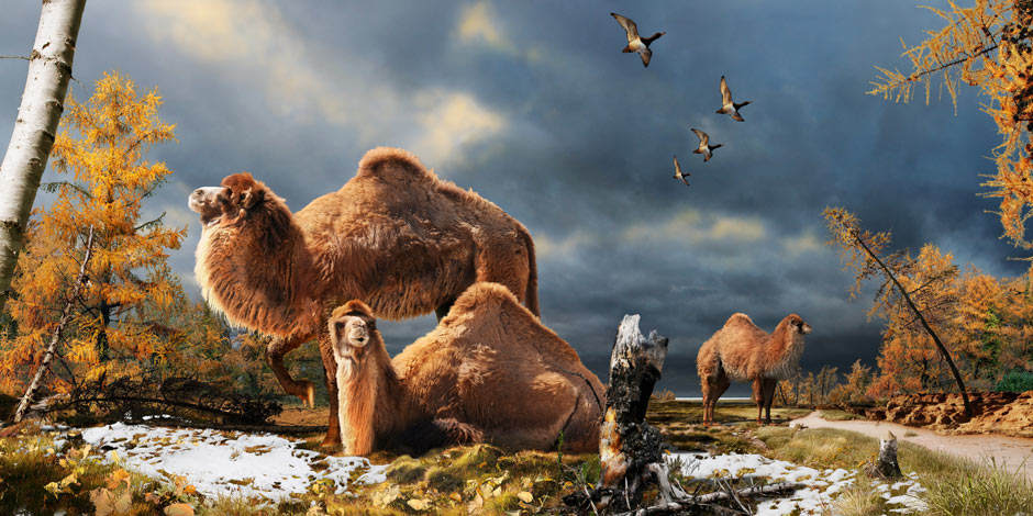 Ancestors of Desert Camels Roamed the Arctic 3.5 Million Years Ago