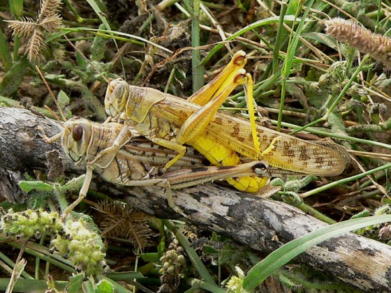 nature, locusts, agriculture, Lebanon, farmers, copulating locusts