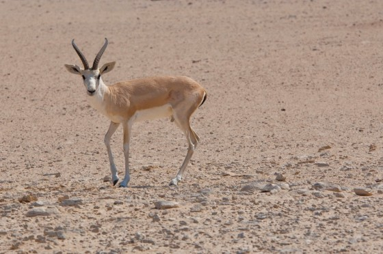 hunting, desert, UAE, sport, gazelle, Al Ain, boutique, lodge