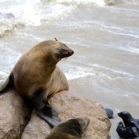 Tafline Laylin, nature, travel, photography, art, eco art, Earth Day, Seal, Seal Cross Colony, Namibia, fur