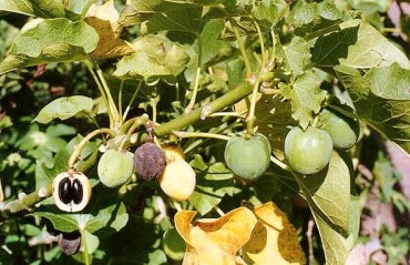 "Superpower ""Laxative Nut"" Jatropha Tree Could Solve Egypt's Fuel Crisis"