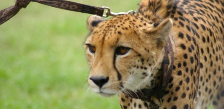 cheetah-on-a-leash.jpg