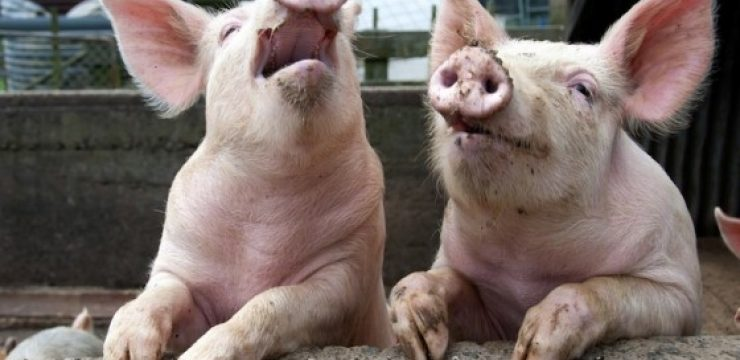 laughing-pigs.jpg