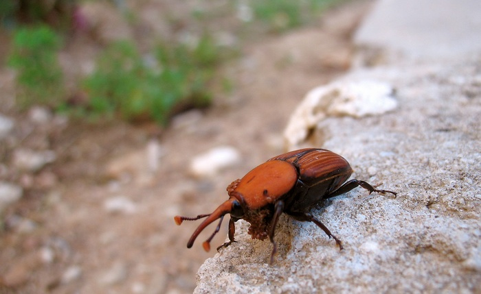 date palm, red weevil