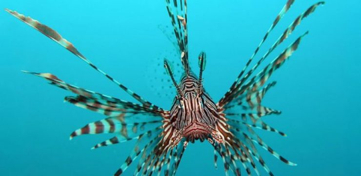 800px-Red-Lionfish-560x4061.jpg