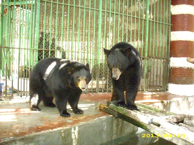 black bears, egypt, giza zoo, animal cruelty,
