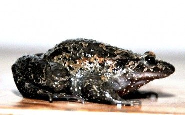 """Extinct"" Hula Painted Frog Represents Ancient Species"