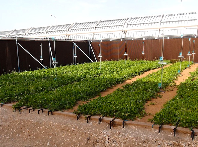 Phenomenal Qatars First Saltwater Barley Crop Sprouts In The Desert Home Interior And Landscaping Oversignezvosmurscom