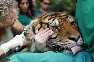 Pedang the Tiger Gets Acupuncture to Treat Chronic Ear Infection in Israel
