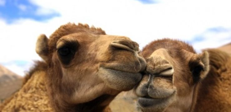 camel-couple-camel-milk.jpg