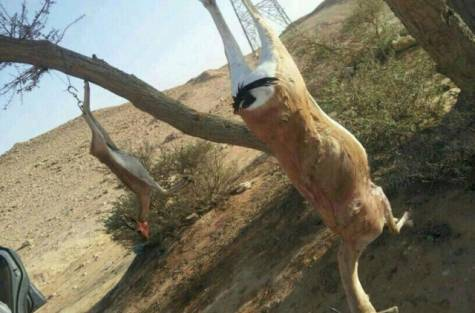 Saudi Arabia, gazelle, endangered species, wildlife conservation, social media