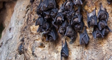 Cyprus Fruit Bats Decline and Head to Turkey?