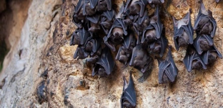 fruit-bats-cave-hanging.jpg