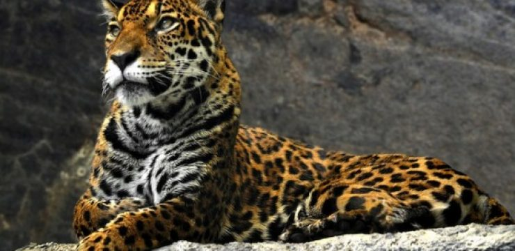 leopard-on-rocks.jpg
