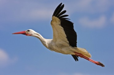 """Spy"" Stork Arrested Then Released and Eaten in Egypt"