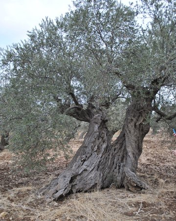 200-year-old olive tree galilee