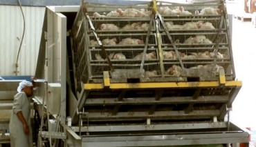 See Severe Animal Abuse at Israel's Largest Kosher Poultry Slaughterhouse (VIDEO)