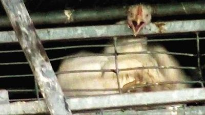 chicken trapped in cage at soglowek