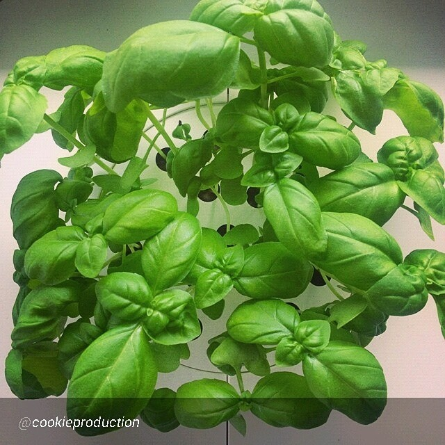 Click & Grow, Abu Dhabi, Middle East, city gardening, smart herb garden, smart gardening, organic herbs