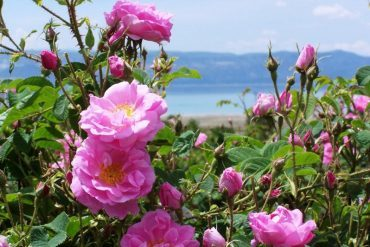 Roses damask'd are dying in Syria