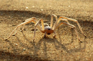 Moroccan desert spider flees predators in 6.6 ft back flips