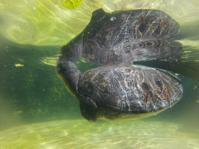 Israel Turtle Rescue and Rehabilitation Center, Freedom, green turtle, IUCN, endangered species, Mediterranean Sea, wildlife conservation, turtle rehabilitation, pollution, fishing lines, trash in the Mediterranean Sea