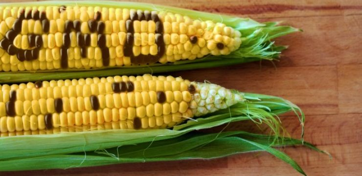 GMO-corn-genetically-modified-corn.jpg