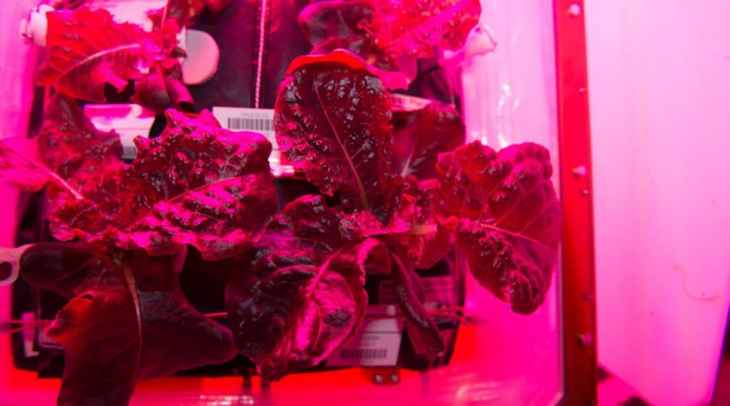 lettuce grown in space