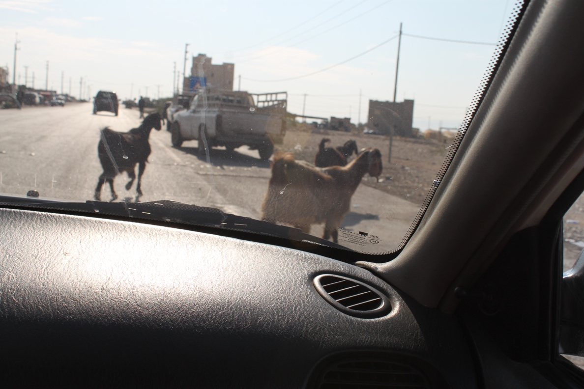 Driving with  Jordan goats
