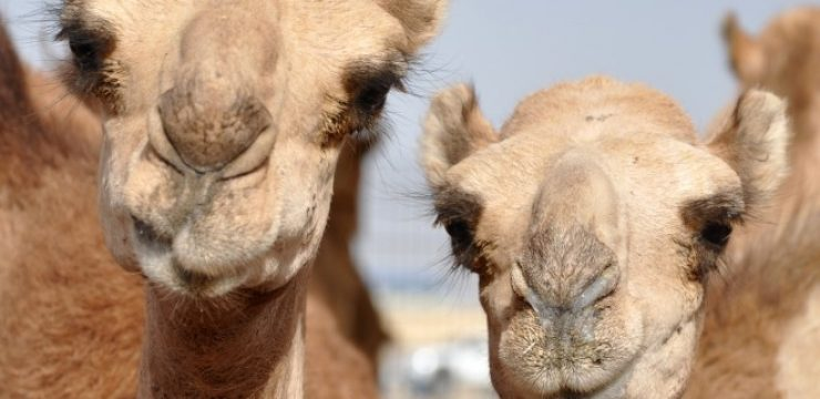 MERS-found-in-Qatar-camels.jpg