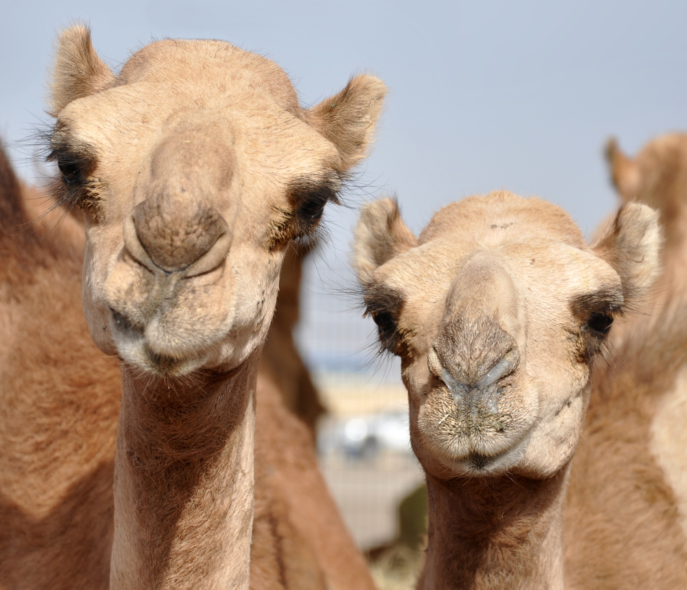 MERS found in Qatar camels
