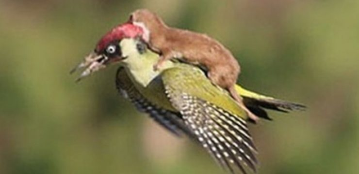 Martin-LeMay-weasel-on-a-woodpecker.jpeg