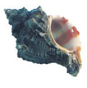 Murex  blue techelet snail