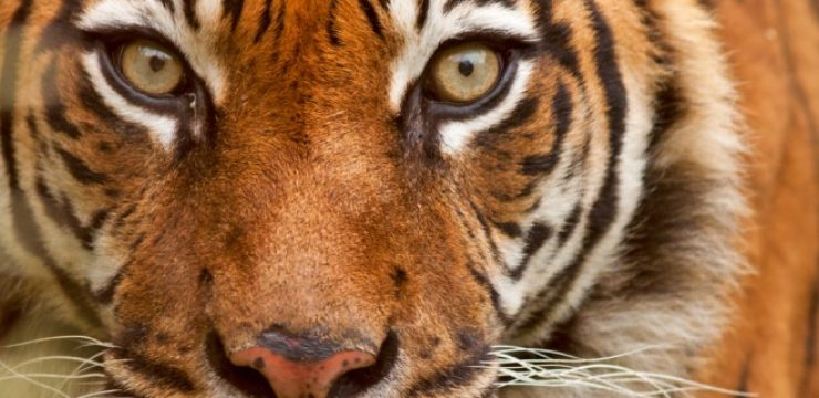 Sumatran-tiger-protected-by-fatwa.jpg
