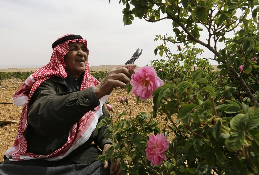 Syrian picking damask rose