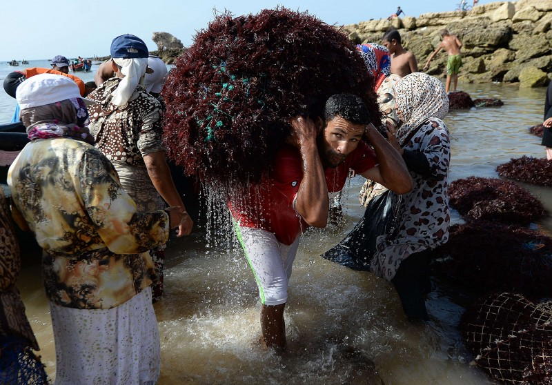 How vegan demand for agar is killing Morocco's red seaweed